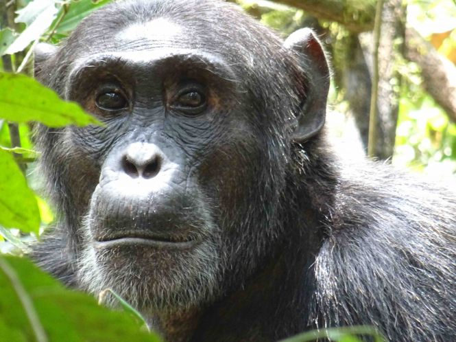 123-chimpanze-a-kibale-forest