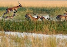 antilopes-okavango