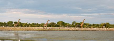 naù-2016-girafes-au-point-d-eau-dsc_0151